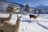 Lamas in St. Valentin auf der Haide